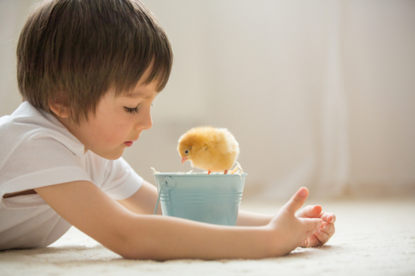 Cute sweet little child, preschool boy, playing with little chicks at home, baby chicks in child hands